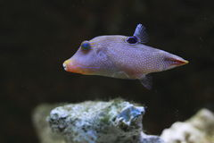 Spotted sharpnose puffer Royalty Free Stock Images