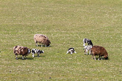Spotted sheep Stock Images