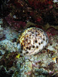 Spotted Shell Underwater. A spotted sea shell under the water Stock Photography