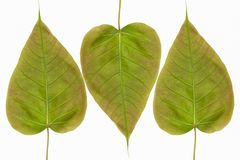 Spotted sicklefish heart shaped leaf isolated on white background. With clipping path Stock Image