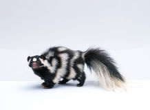 Spotted Skunk on White Background stock images