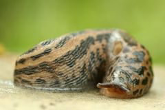 Spotted slug. A slug sitting on a stone (gastropoda mollusca, snail). Macro photography Stock Photos