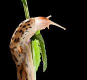 Spotted slug look down from herb Royalty Free Stock Photo