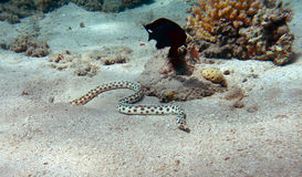 Spotted snake eel Stock Photo