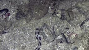 Spotted snake-eel Myrichthys tigrinusell hunting in the night. stock video