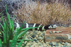 Spotted snake on the rocks Stock Photos