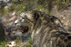 Spotted Snow Leopard Watching Stock Photo