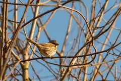 Spotted by the Song Sparrow. A Song Sparrow catches the photographer at the first click Royalty Free Stock Photo