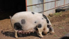Spotted sow female pig Pietrain breed looking to camera. Inquisitive and questioning stock footage