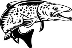 Spotted or speckled trout Royalty Free Stock Photos