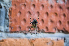 Spotted spider Royalty Free Stock Photo