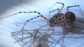 Spotted spider and its prey stock video