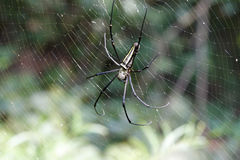 The spotted spider nephila on its net Royalty Free Stock Image
