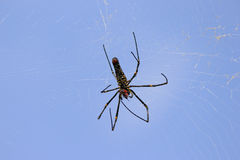 The spotted spider nephila under blue sky background Stock Images