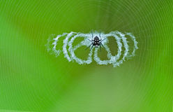 Spotted spider with nets. Spotted spider with very special nets royalty free stock photo