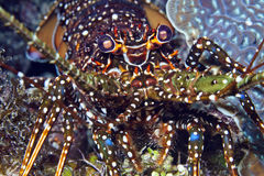 Spotted spiny lobster Stock Photos