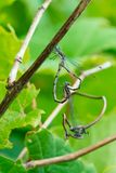Spotted Spread Wing Damselfly - Lestes congener. Two Spotted Spread Wing Damselflies mating with the male holding onto a stick. Rouge National Urban Park stock photo