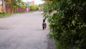 Spotted sprenkelte Katze ist auf einer Landstra?e in Richtung der Kamera Lustiges sch?nes Haustier stock video footage