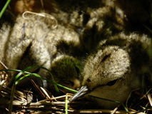 Spotted squeaky chicks in the nest. Young hidden in the grass. Stock Photos