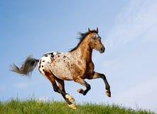 Spotted stallion. Appaloosa stallion running in a field Royalty Free Stock Photos
