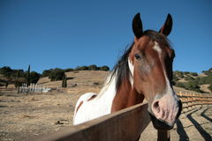 Spotted stallion at fence on ranch Stock Image