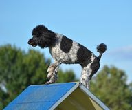 Spotted Standard Poodle at Dog Agility Trial Stock Images