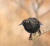 Spotted starling Stock Photo