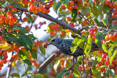 A spotted starling eating fruits Stock Photography