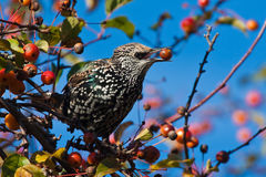A spotted starling eating fruits in an apple tree. A beautiful spotted starling eating fruits in an apple tree stock photos