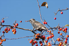 A spotted starling eating fruits in an apple tree Stock Image