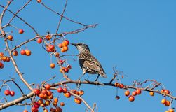 Spotted starling eating fruits in an apple tree Stock Photos