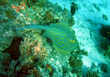 Spotted stingray Stock Images