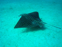 Spotted stingray Stock Photos