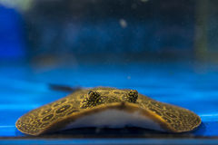 Spotted Stingray. Freshwater spotted stingray in the aquarium Stock Photography