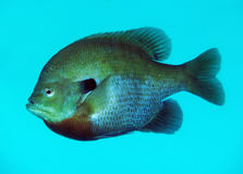 Spotted Sunfish Portrait - Vortex Springs Stock Images