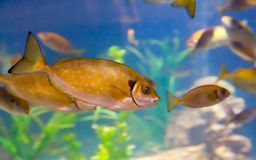 Spotted Surgeon Fish royalty free stock photo