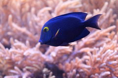 Spotted surgeonfish Stock Photography