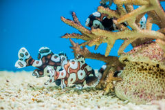Spotted sweetlips fish on a blue background. stock photography