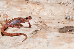 Spotted-tailed Cave Salamander Royalty Free Stock Images