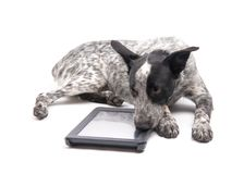 Spotted Texas Heeler dog lying down next to a computer tablet. With a sad look on her face, on white Stock Photography