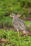 Spotted Thick-knee. A close-up of a Spotted Thick-knee, Addo Elephant National Park Royalty Free Stock Images