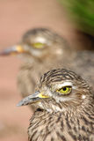 Spotted Thick Knee Stock Photo