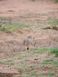 Spotted thick-knee. A spotted thick-knee against background of cracked brown earth and green fodder plants. Madikwe Game Reserve, South Africa Stock Photos
