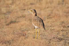 Spotted thick-knee Royalty Free Stock Photography