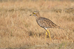 Spotted thick-knee Royalty Free Stock Photos
