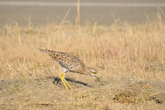 Spotted thick-knee Royalty Free Stock Images