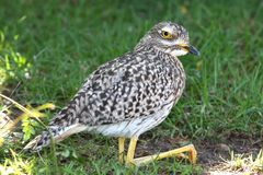 Spotted thick-knee bird or dikkop Stock Images