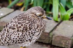 Spotted thick knee at Birds of Eden in Plettenberg Bay South Africa Stock Photography