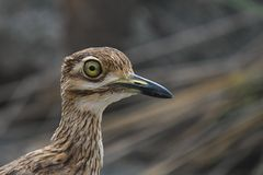 Spotted Thick-knee (Burhinus capensis) Royalty Free Stock Images