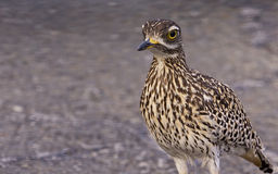 Spotted thick knee or Cape thick knee Royalty Free Stock Photo